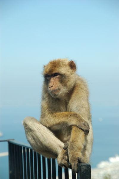 Ein Berber-Affe auf dem Felsen von Gibraltar
